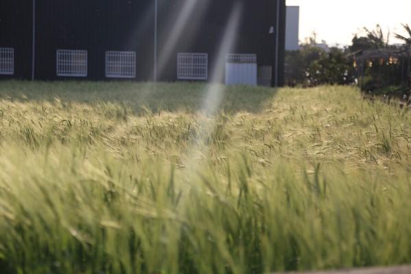 細細品嚐「禾餘麥酒」:吹動台灣農業的風  復耕大麥釀製麥酒